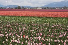 Tulip Fields Stock Photography