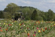 Free Tractor In The Field Of Tulips Royalty Free Stock Image - 5067056