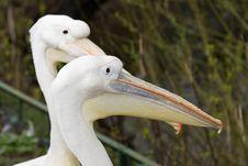 White Pelican (Pelecanus Onocrotalus) Stock Photography