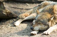 Free Wolf Royalty Free Stock Image - 5067396