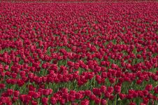 Free Red Tulips Royalty Free Stock Images - 5067439