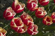 Free Orange & Red Tulips Stock Image - 5067471