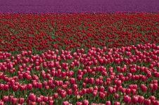Free Field Of Tulips Royalty Free Stock Photography - 5067527