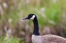 Free Canada Goose Stock Image - 5067851