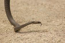 Free Brown Snake Rising Royalty Free Stock Photo - 5068105