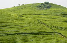 Free Green Tea Hill Royalty Free Stock Photos - 5068218