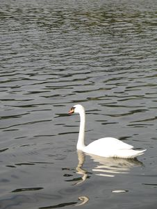 Free White Swan On A Lake Stock Photos - 5068283