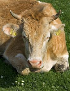 Free Cow Stock Images - 5068864
