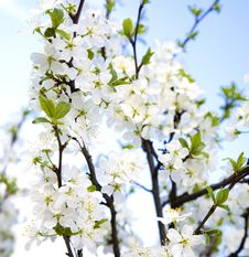 Free Cherry Tree Stock Photo - 5068900