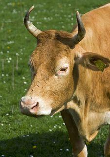 Free Cow Stock Photos - 5069023