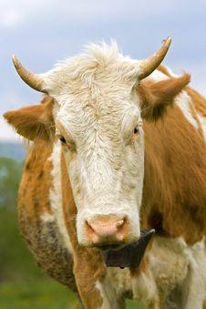Free Cow Stock Photo - 5069050