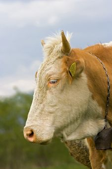 Free Cow Royalty Free Stock Photo - 5069055