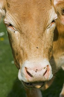 Free Cow Stock Photos - 5069133