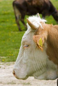 Free Cow Royalty Free Stock Photos - 5069198