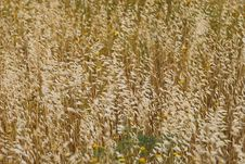 Free Golden Field Royalty Free Stock Photo - 5069325