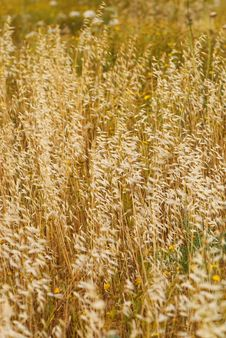 Free Golden Field Royalty Free Stock Images - 5069349
