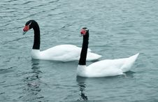 Free Black Necked Swan Royalty Free Stock Photography - 5069757
