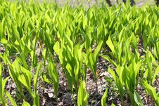 Free Young Green Spring Grass Stock Photo - 5069760