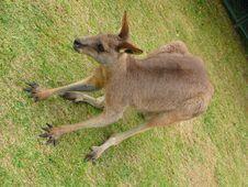 Free Kangaroo On Grass Royalty Free Stock Photo - 5069815