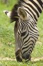 Free Zebra Stock Images - 5070624