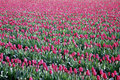 Free Tulip Fields Stock Image - 5075711