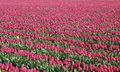 Free Tulip Fields Royalty Free Stock Images - 5075719