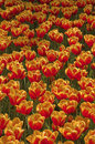 Free Tulip Field Stock Photography - 5077752