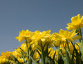 Free Tulips Field Royalty Free Stock Photo - 5078315