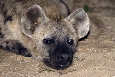 Free Hyena Royalty Free Stock Image - 5070806