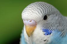 Free Parrot Royalty Free Stock Photos - 5070868