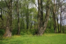 Free Spring Forest Royalty Free Stock Photos - 5070908