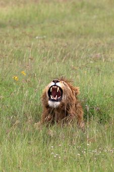 Free Lion Roaring In The Ngorongoro Crater Tanzania Royalty Free Stock Images - 5071079