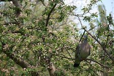 Free Pigeon On Blossoming Tree Royalty Free Stock Photos - 5071318