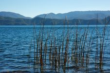 Free Reed In The Lake Royalty Free Stock Photo - 5071895