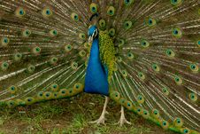 Free Peacock Stock Photography - 5072032