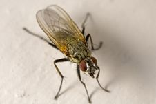 Free House Fly With Tongue Royalty Free Stock Photo - 5074125