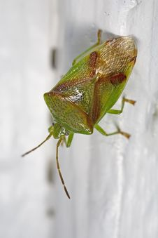 Free Red-crossed Stink Bug Royalty Free Stock Photos - 5074138