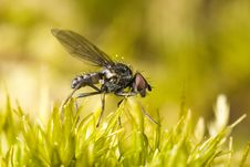 Small Fly Perched On Moss Stock Photography