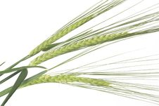 Free Green Wheat Ears Royalty Free Stock Image - 5074806