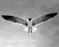Free Seagull Stock Photography - 5075902