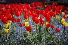 Free Tulips Royalty Free Stock Image - 5075916