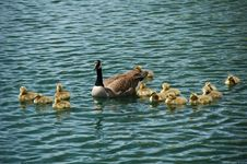 Free Goose Family Stock Photo - 5076550