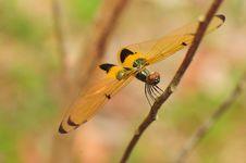 Orange And Black Stripes Dragonfly II Stock Photos