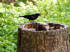 Free Black Bird On Treestump Stock Image - 5077051