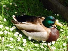 Free Duck In Flowers Royalty Free Stock Photos - 5077078