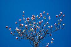 Free Pink Magnolia Tree Stock Photos - 5078293