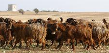 Free Goats 2 Stock Photo - 5078450