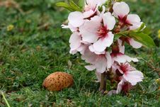 Free Almond Flowers With Nuts Royalty Free Stock Photography - 5079357