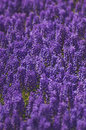 Free Hyacinth Field Stock Image - 5081491