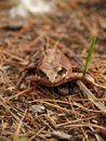 Free Brown Frog In The Forest Royalty Free Stock Image - 5083206